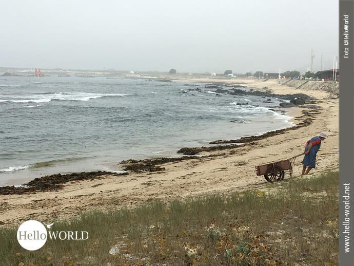 Kräftezehrend: Algensammeln an der Küste Portugals