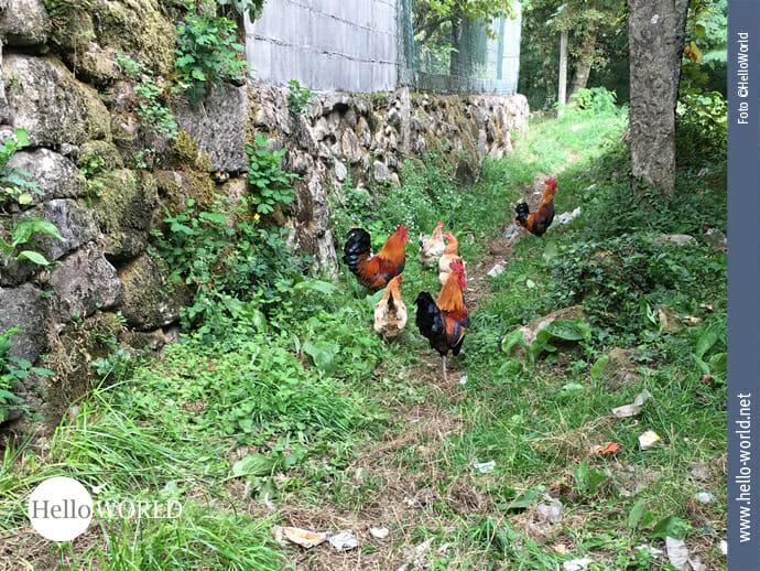 Hühnerausflug auf dem Caminho Portugues