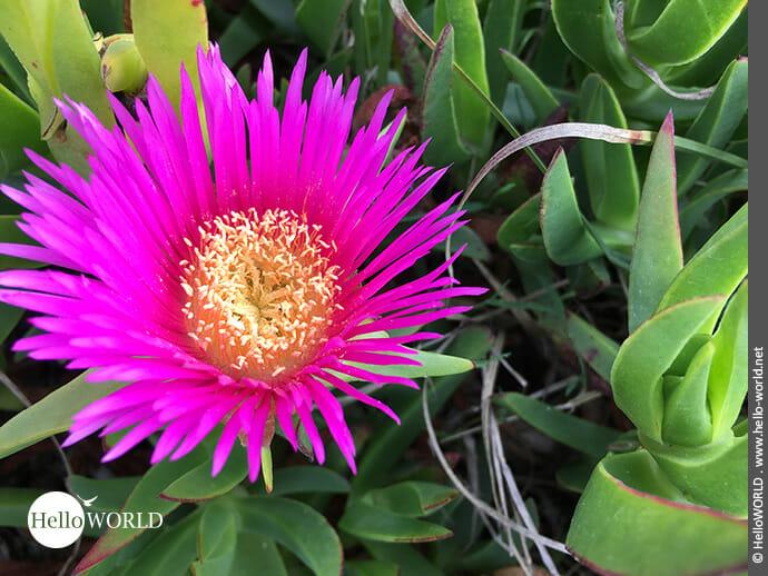 Strahlenförmiges Schmuckstück: pinkfarbene Mittagsblume