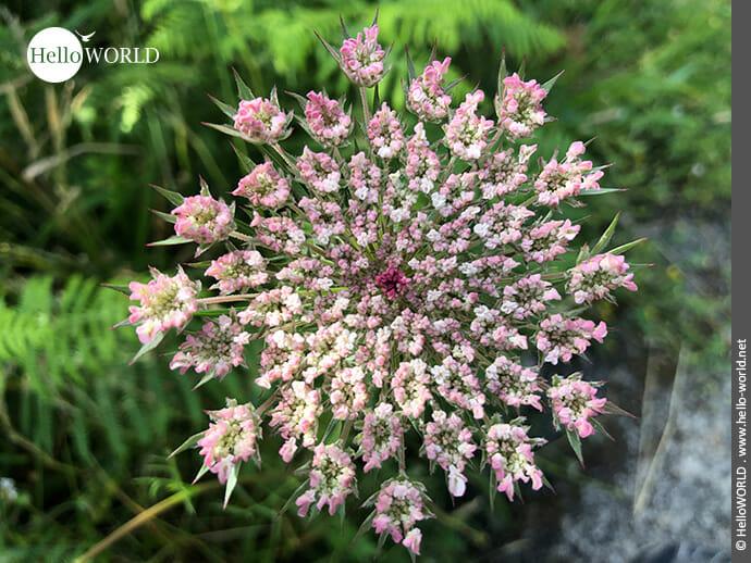 Filigrane Perfektion: winzige Blüten formen die Blume