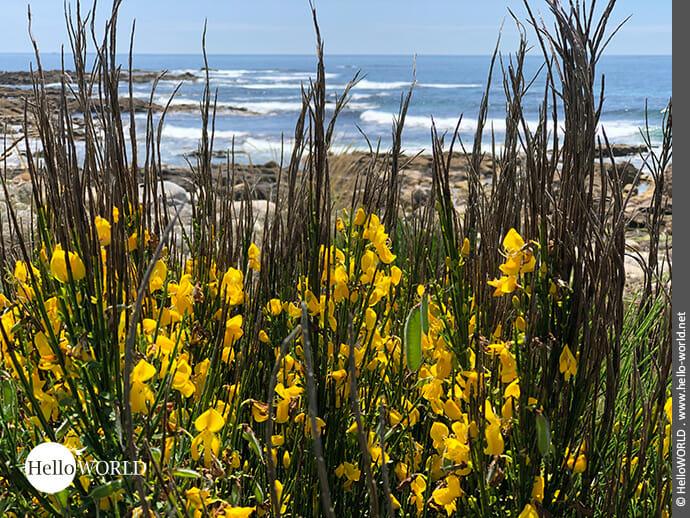 Auffälliges Farbspiel: gelbe Blüten, grüne Blätter, blaues Meer