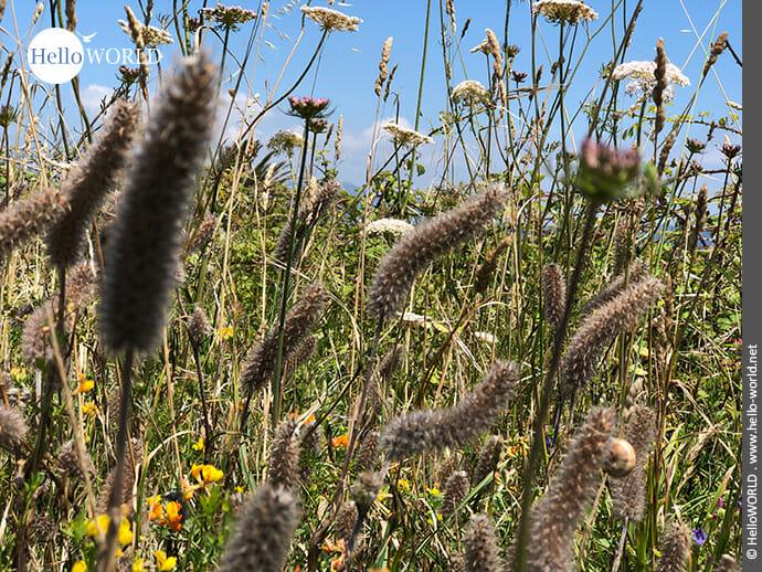 Buntes Insektenparadies: Blumenwiese