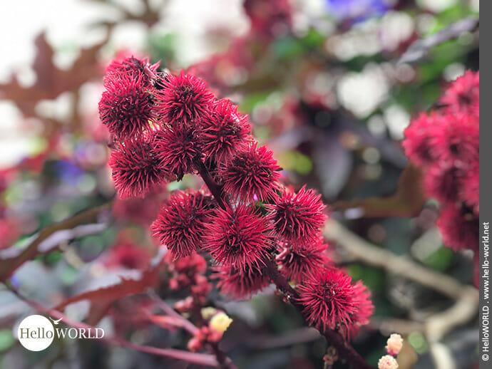 Aus der Nähe: Blüten des Rizinus Wunderbaums