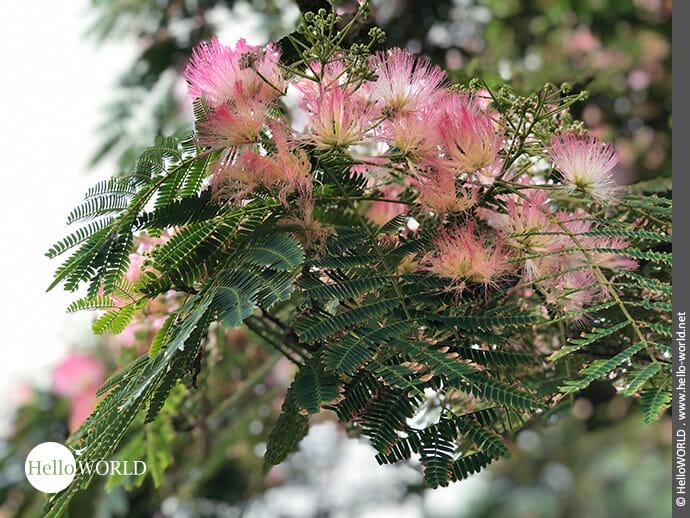 Federleicht: Blüten des Seidenbaums