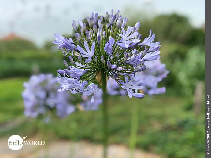 Runder Blickfang: die lilafarbene Schmucklilie