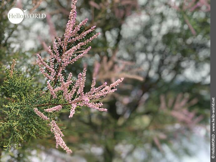 Rosafarbene Spitzen zieren Büsche am Wegrand