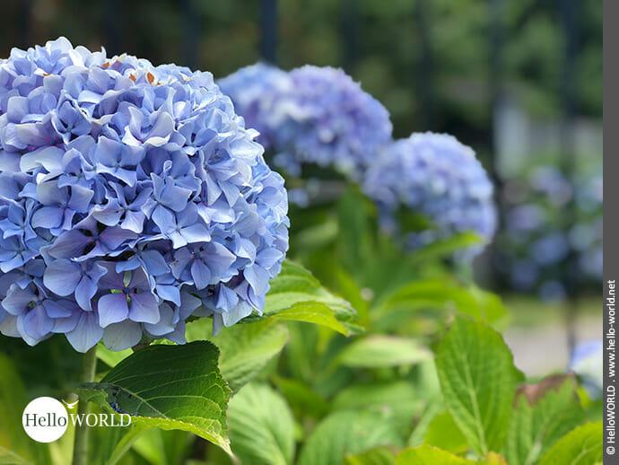 Lilafarbene Blütenpracht: Hortensienbusch