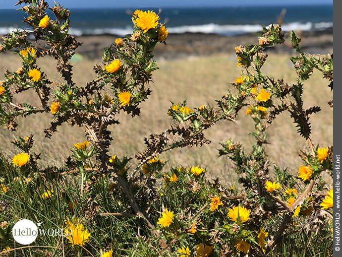 Gelbe Disteln an der Küste entlang des Camino Portugues