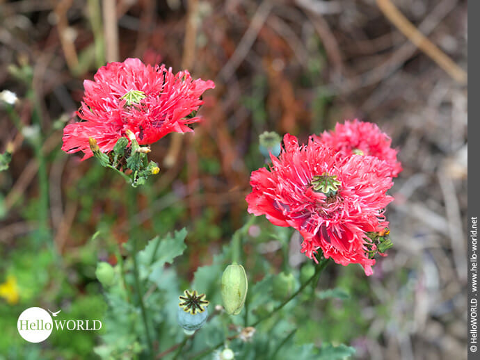 Leuchtend rot: die fransige Mohnblume