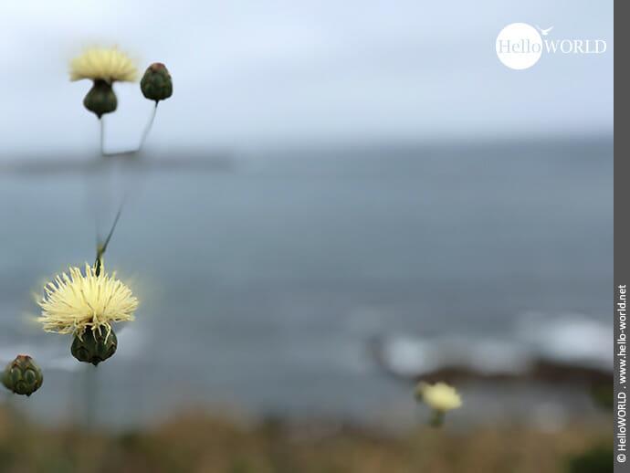 Zartgelb: wilde Distel auf dem Küstenweg