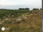 Idyllischer Platz zum Grasen: Schafherde in der Nähe von Vilar