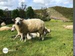 Tierische Aussichten auf dem Camino Finisterre