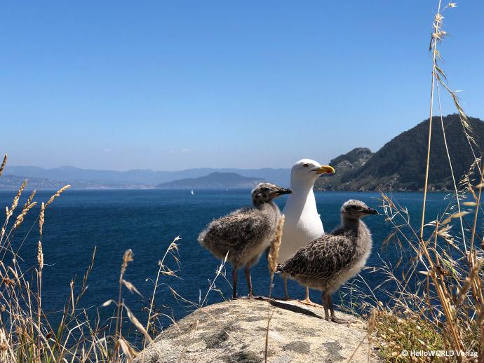 Hier sieht man eine Aufnahme von drei Möwen auf einem Felsen auf der Insel Cies.