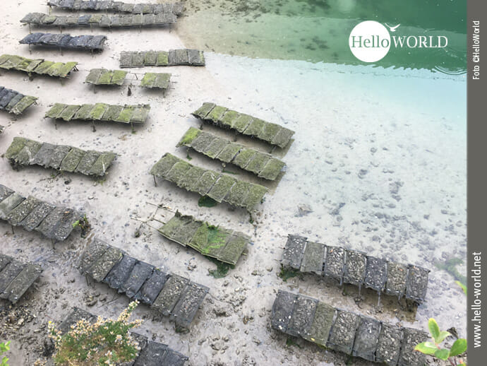 Nur bei Ebbe sichtbar: die Austernzucht in Spaniens Norden