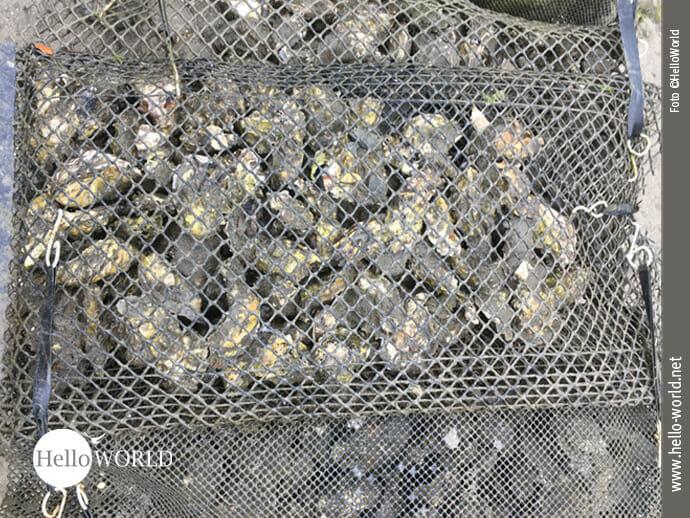 Prall gefüllt mit Austern
