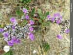 So zarte Blüten gedeihen im Dünensand