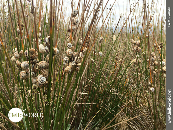 Das Bild wurde bei der fünften Camino del Norte Etappe aufgenommen und zeigt Gehäuseschnecken, die an Gras hinaufklettern.