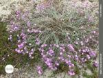 Pinkfarbenes Blütenmeer...