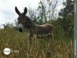 Aufmerksam: süßer kleiner Esel an der Costa da Morte