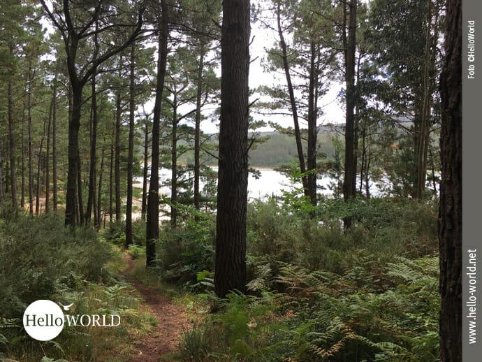 Auf schmalem Waldpfad Richtung A Ponte do Porto