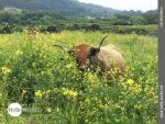 Kühe auf dem spanischen Küstenweg