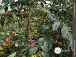 Südamerika: Kontinent des Kaffees