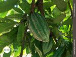 Kakaofrucht in Südamerika