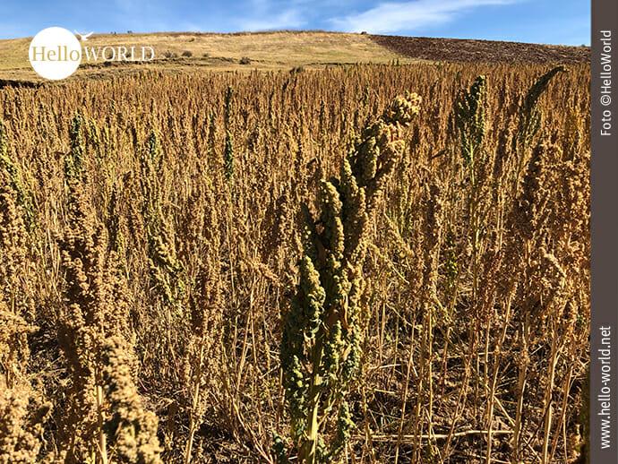 Quinoa: typische Feldfrucht in den Anden