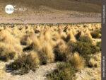 Steppengras in der Wüstenlandschaft Boliviens