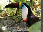 Farbenprächtiges Federvieh: der Tukan
