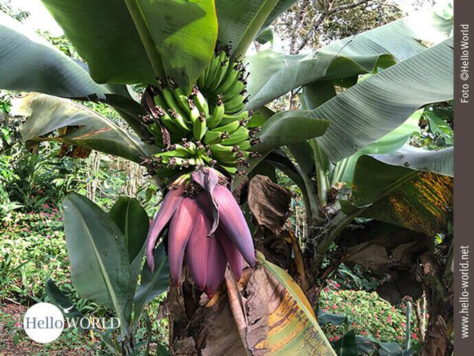 Bananenstauden wohin man auch sieht ...