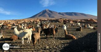 Dieses Bild wurde in Bolivien aufgenommen und zeigt eine Lamaherde, im Hintergrund ein Vulkan.