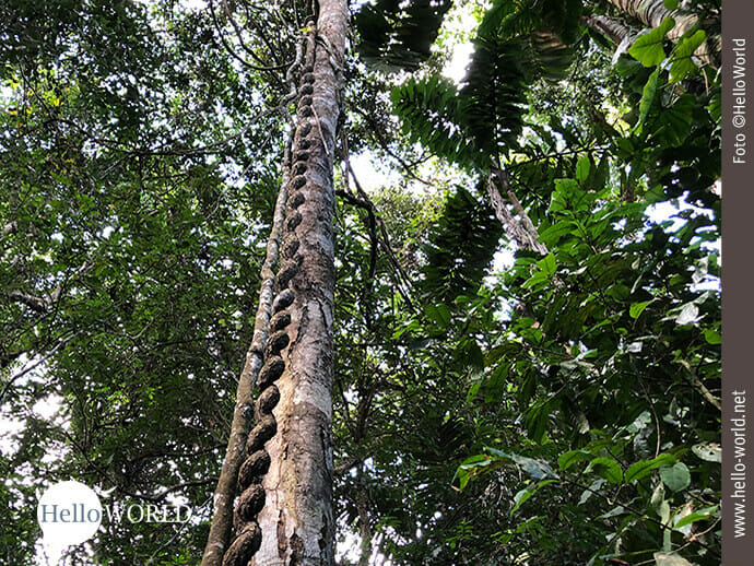 Bewundernswert: Flechtkunst an den Baumstämmen