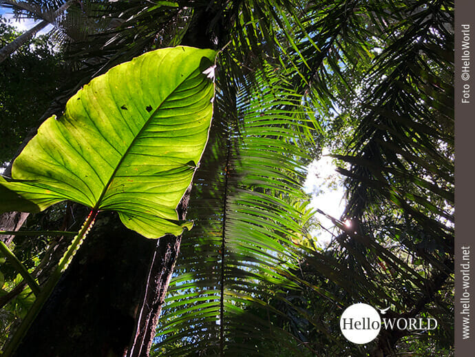 Dieses Bild aus dem Madidi Nationalpark zeigt ein riesiges lichtdurchflutetes Blatt inmitten des Dschungels.