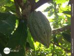 Wächst im bolivianischen Tropengebiet: Kakao