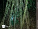 Der Walking Tree bei Nacht