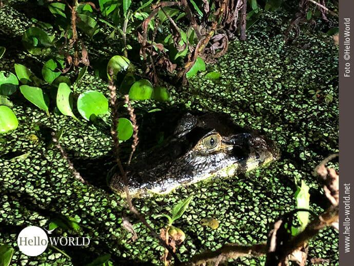 Gut getarnt in der Pampas: ein Krokodil im Wasser