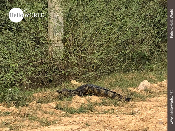 Achtung Krokodil-Verkehr!