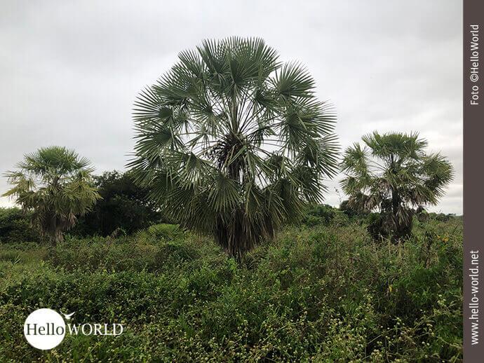 Kreisrunde Palme im bolivianischen Feuchtgebiet