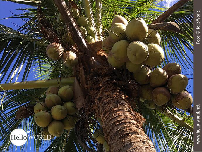 Zum Greifen nah: Kokosnüsse
