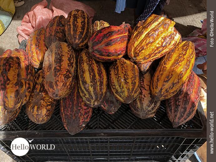 Kakaofrüchte frisch vom Baum