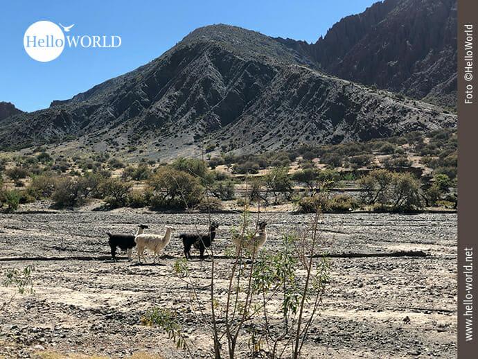 Lamas im Canyon von Tupiza