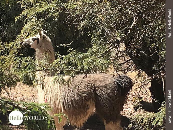 Nahaufnahme: Lama im Gebüsch