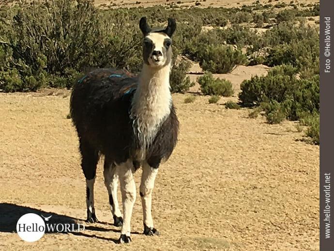 Lieblingstier in Südamerika: das Lama