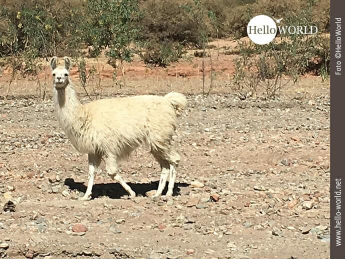 Zum Verlieben: Lamas in Südamerika