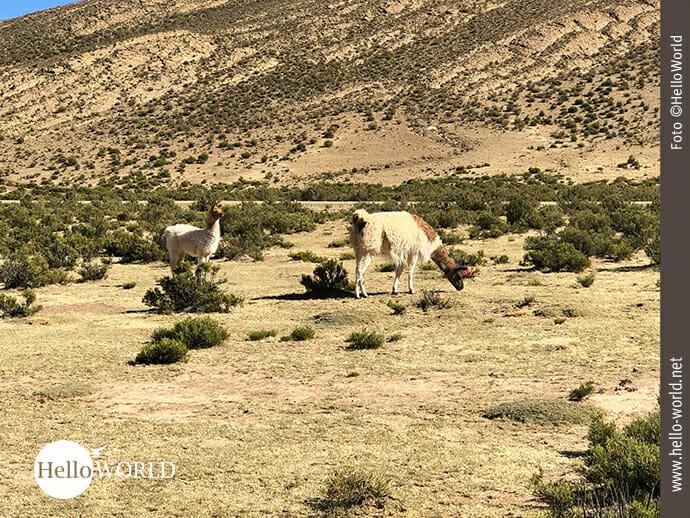 Aus der Ferne: Lamas in der bolivianischen Pampa