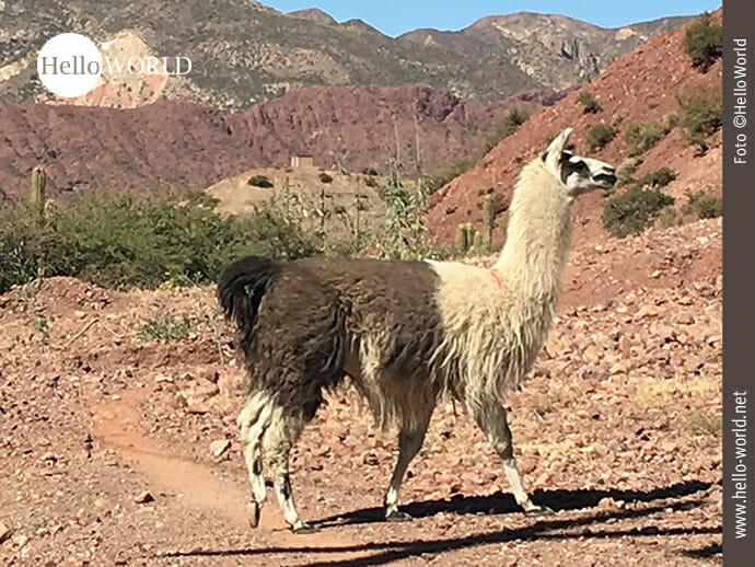 Vor der Linse: zweifarbiges Lama