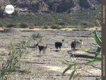 Beobachtet: Lamaherde in Südamerika
