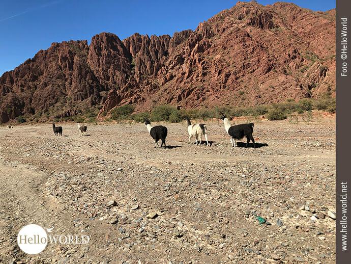 Südamerika: Kontinent der Lamas
