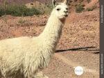 Unbezahlbarer Anblick: Lama aus der Nähe